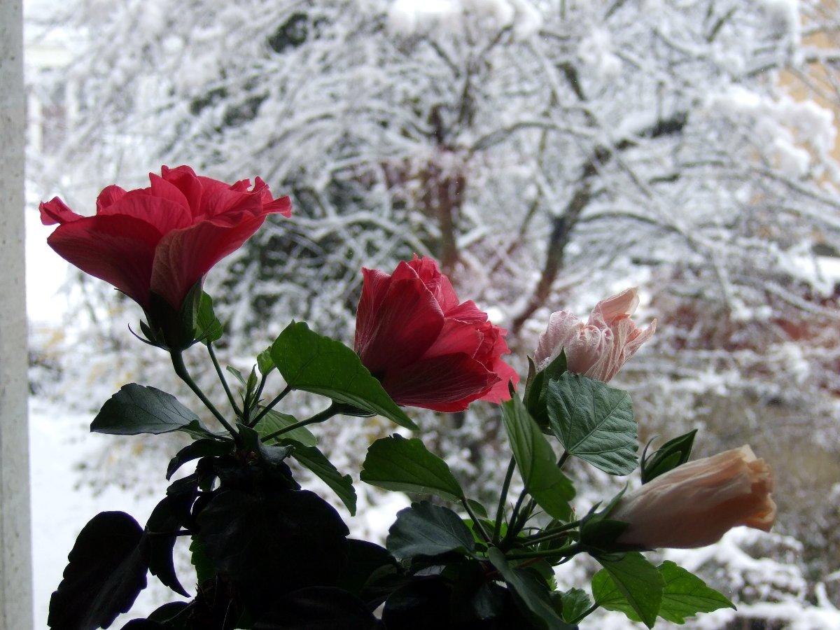 20130420-hibiscus-vorm-schnee