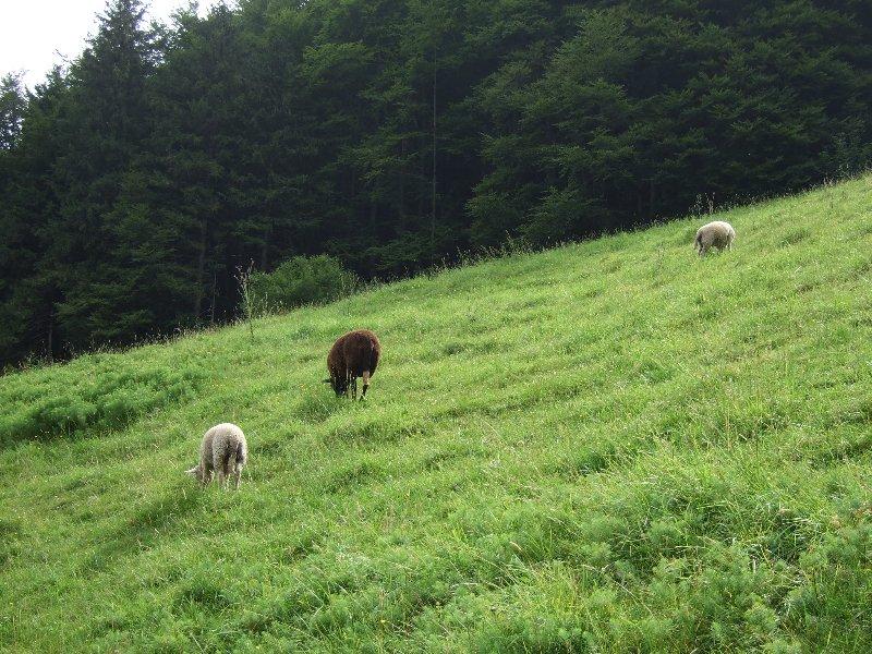 Mir das Hinterteil zuwendende Schafe.