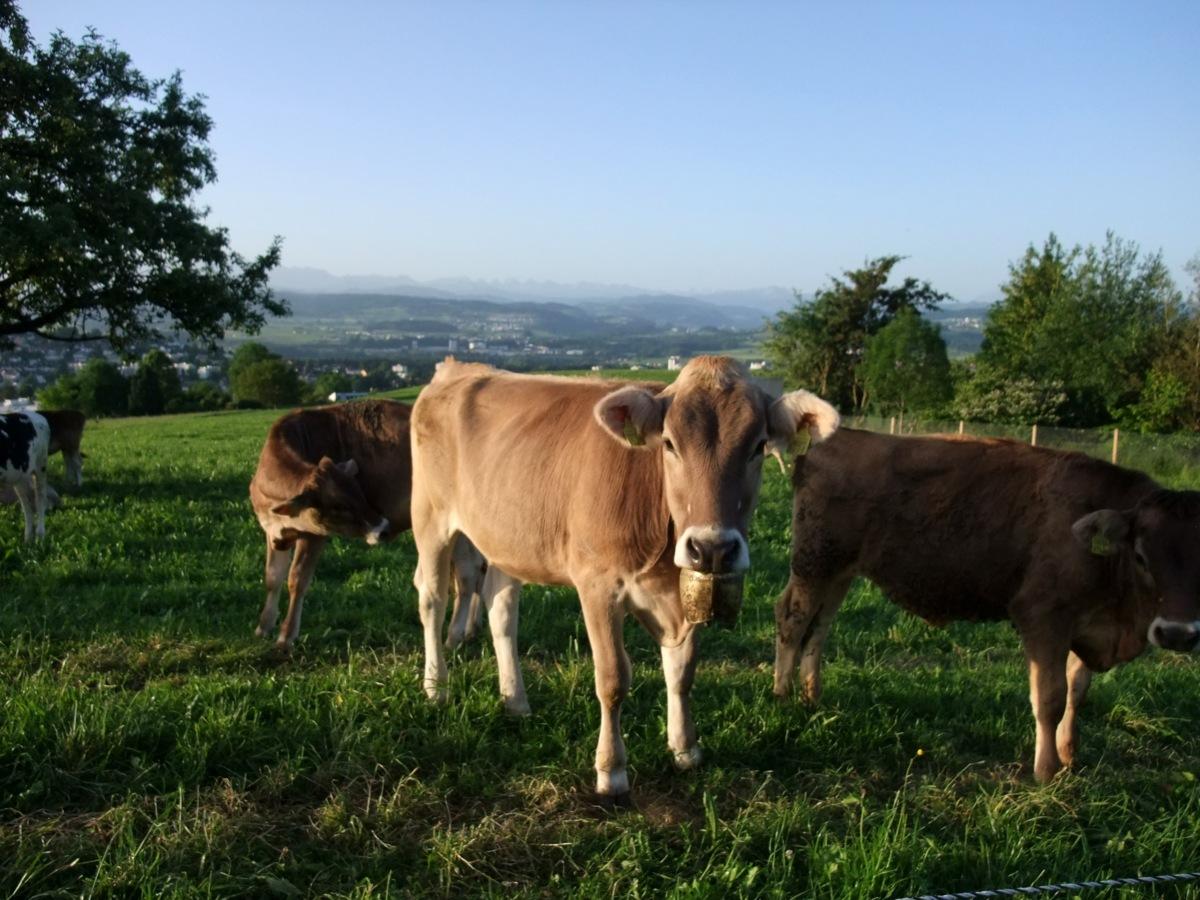 Kühe am frühen Morgen