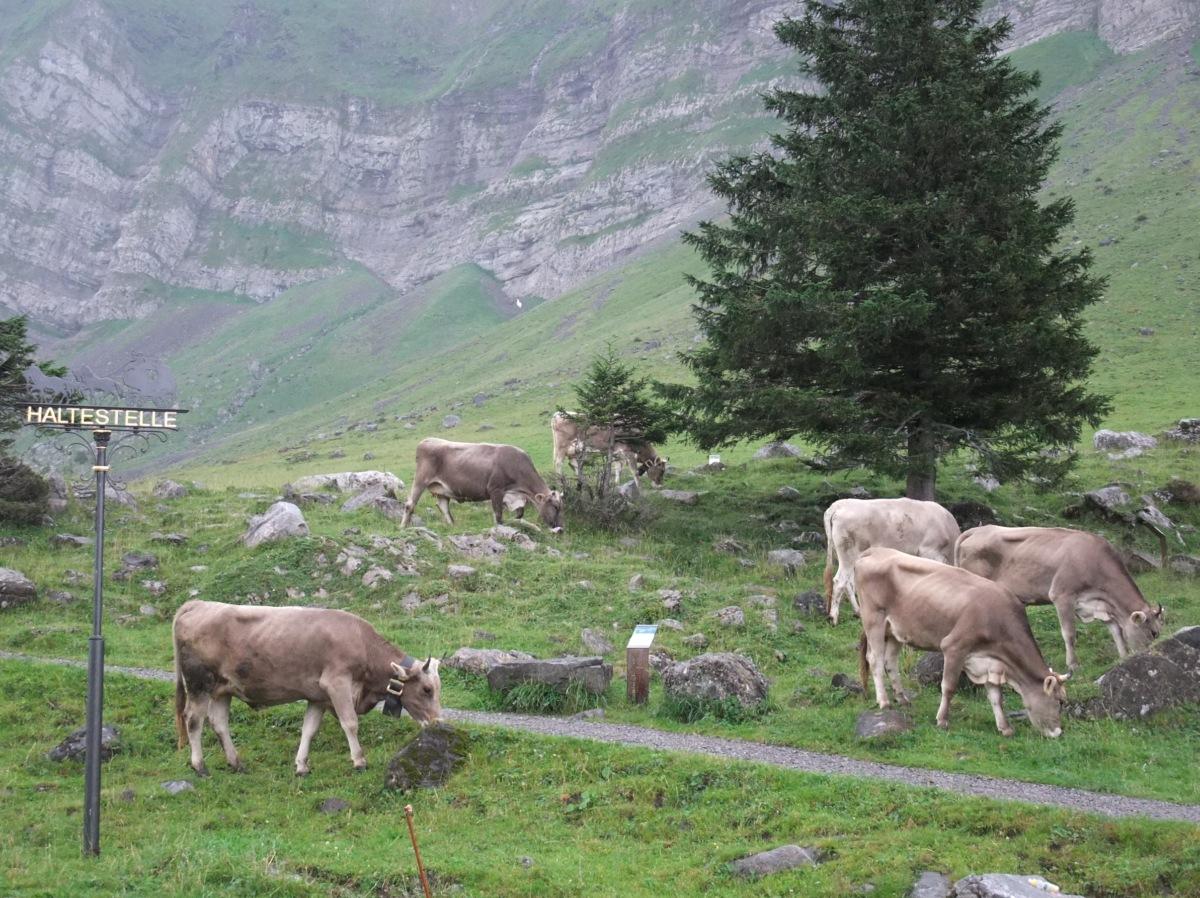 Die Kühe warten aufs Postauto.