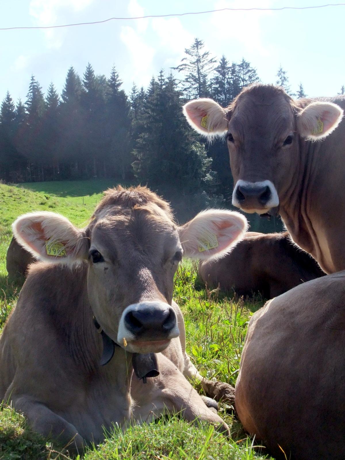 Kühe irgendwo auf dem Rundweg um Gais