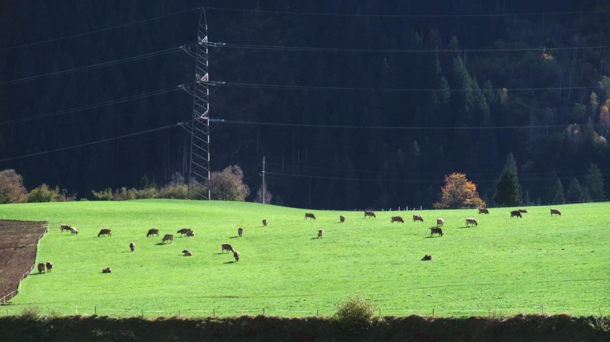 Pause beim Lokwechsel in Disentis. Kühe.