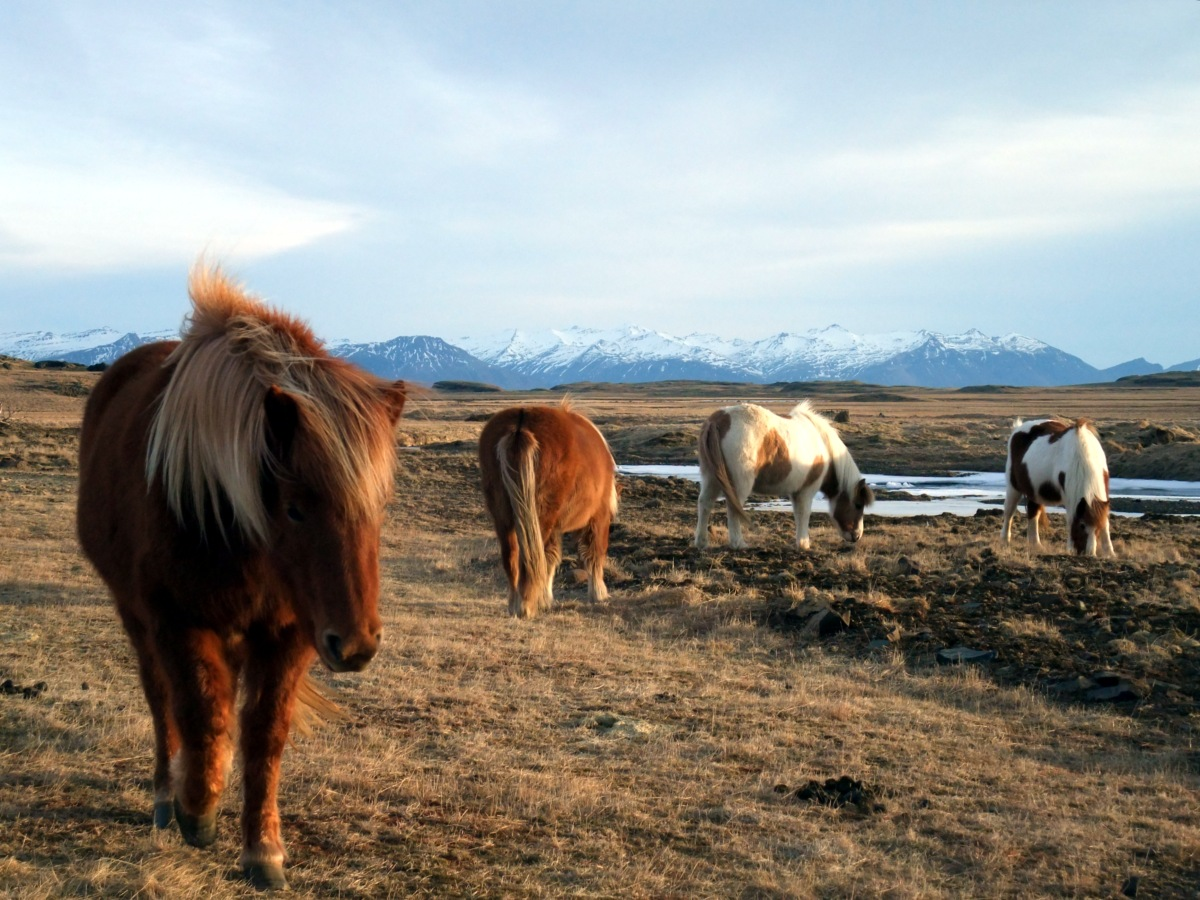 Pferde.