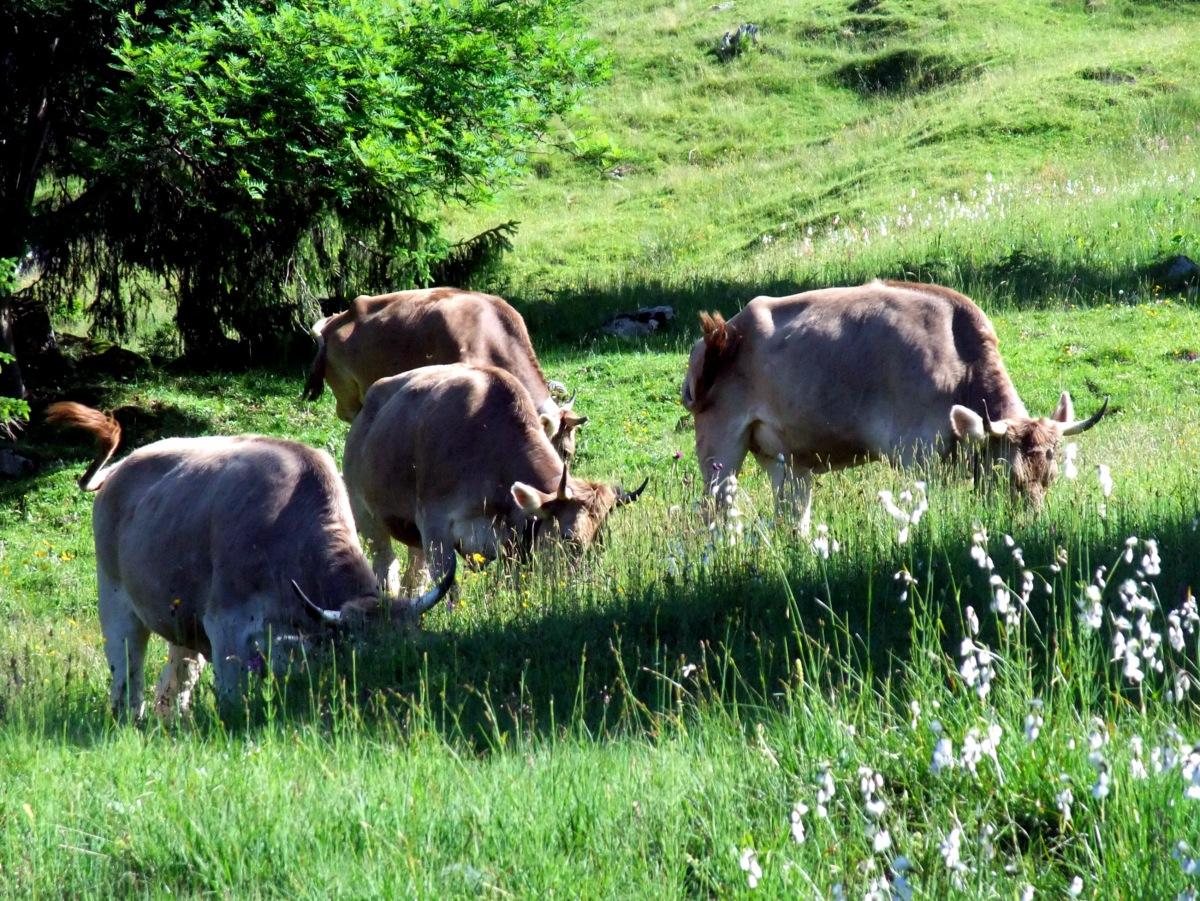 Normalerweise gucken die Kühe ja recht fotogen in die Kamera. Heut mal nicht. Klar, lieber fressen.