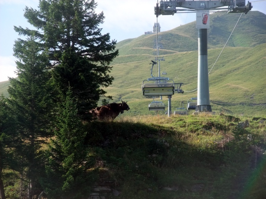 Hornvieh in der Nähe der Sesselbahn.