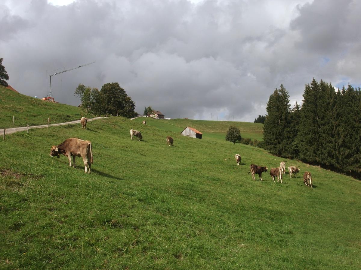 Kühe, wie öfter zu sehen.