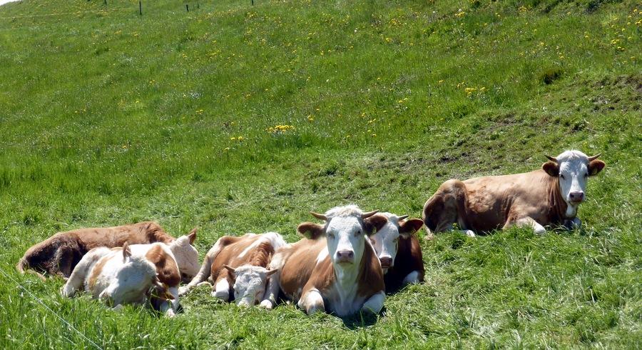 Züri-Kühe. Die gucken auch wieder anders.