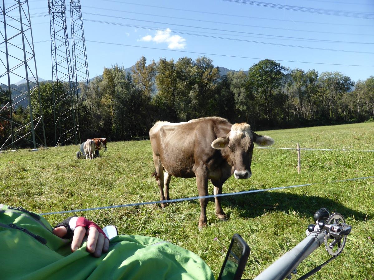 Die Kuh guckt genauso überrascht wie alle anderen.